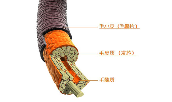 头发的结构构成,成分和受损原因